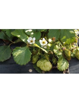 Plantas de Fresas Mara Des Bois