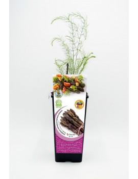 Fresanas Espárrago violeta 2l asparagus officinalis