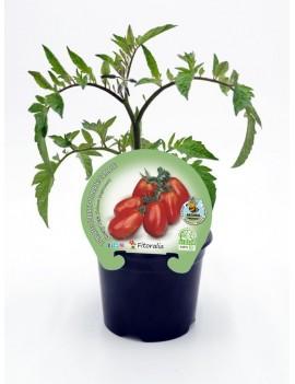 Fresanas Tomate Cherry Pera plantón en maceta de 10,5 cm. de diámetro