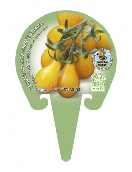 Fresanas tomate Yellow Pear Cherry plantón en maceta de 10,5 cm. de diámetro