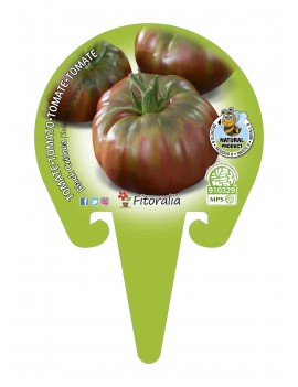 Fresanas Tomate Negro de Crimea plantón en maceta de 10,5 cm. de diámetro