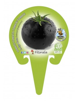 Fresanas Tomate Negro Indigo Rose plantón en maceta de 10,5 cm. de diámetro