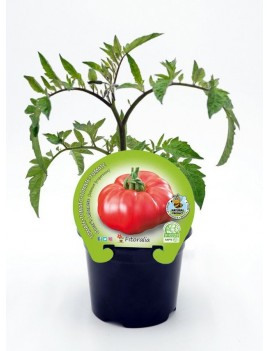 Fresanas Tomate Omar's Lebanese plantón en maceta de 10,5 cm. de diámetro