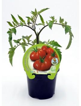 Fresanas Tomate Raf plantón en maceta de 10,5 cm. de diámetro