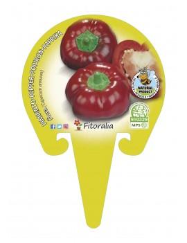 Fresanas Ñora plantel en maceta de 10,5 cm. de diámetro