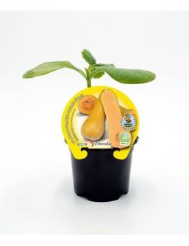 Fresanas Calabaza Butternut plantón ecológico en maceta de 10,5 cm. de diámetro
