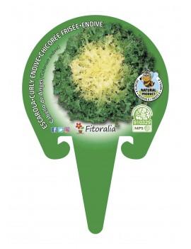 Fresanas Escarola Cabello de Ángel plantel ecológico en maceta de 10,5 cm.