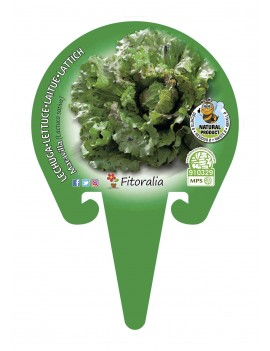 Fresanas Lechuga Maravilla plantel ecológico en maceta de 10,5 cm.
