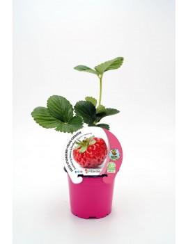 Fresanas Fresa Framberry plantel ecológico en maceta de 10,5 cm. de diámetro