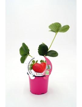 Fresa Mariguette plantel ecológico en maceta de 10,5 cm. de diámetro