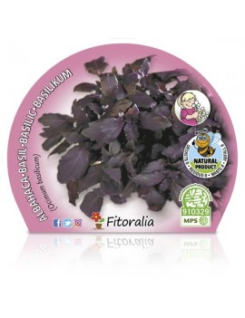 Fresanas Albahaca Púrpura Plantel ecológico en maceta de 10,5 cm. de diámetro
