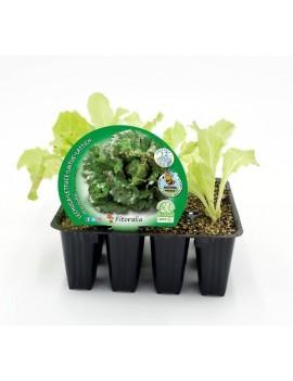 Fresanas Lechuga Maravilla plantón ecológico pack 12 unidades 32x34 mm.