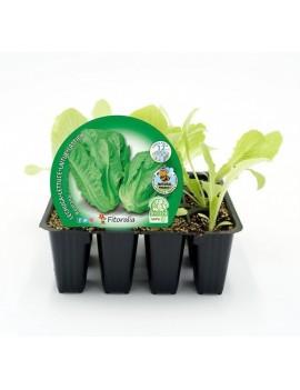 Fresanas Lechuga Romana plantón ecológico pack 12 unidades 32x34 mm.