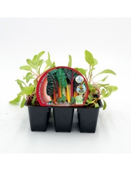 Fresanas Acelga de colores plantón ecológico pack 6 unidades 54x43 mm. de diámetro