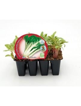 Fresanas Acelga Verde plantón ecológico pack 12 unidades 34x32 mm. de diámetro