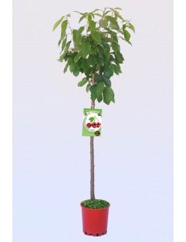 Fresanas Cerezo Bing ecológico