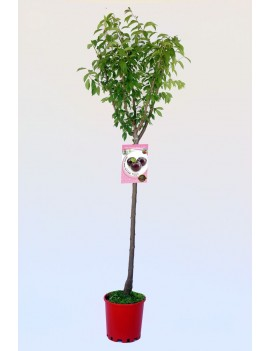 Fresanas Ciruelo Angeleno ecológico