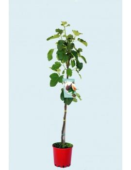 Fresanas Higuera Coll de dama negra ecológica