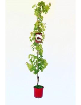 Fresanas Parra Red Globe ecologica