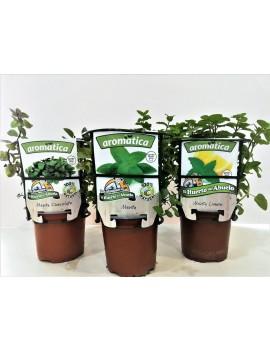 Fresanas trío plantas de menta, menta chocolate, menta limón y menta.