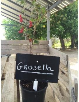 Grosella Roja