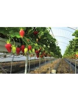 Fresa Marigette ecológica, variedad francesa, fresanas.