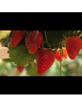 Fresa Garigette ecológica, variedad francesa, fresanas.