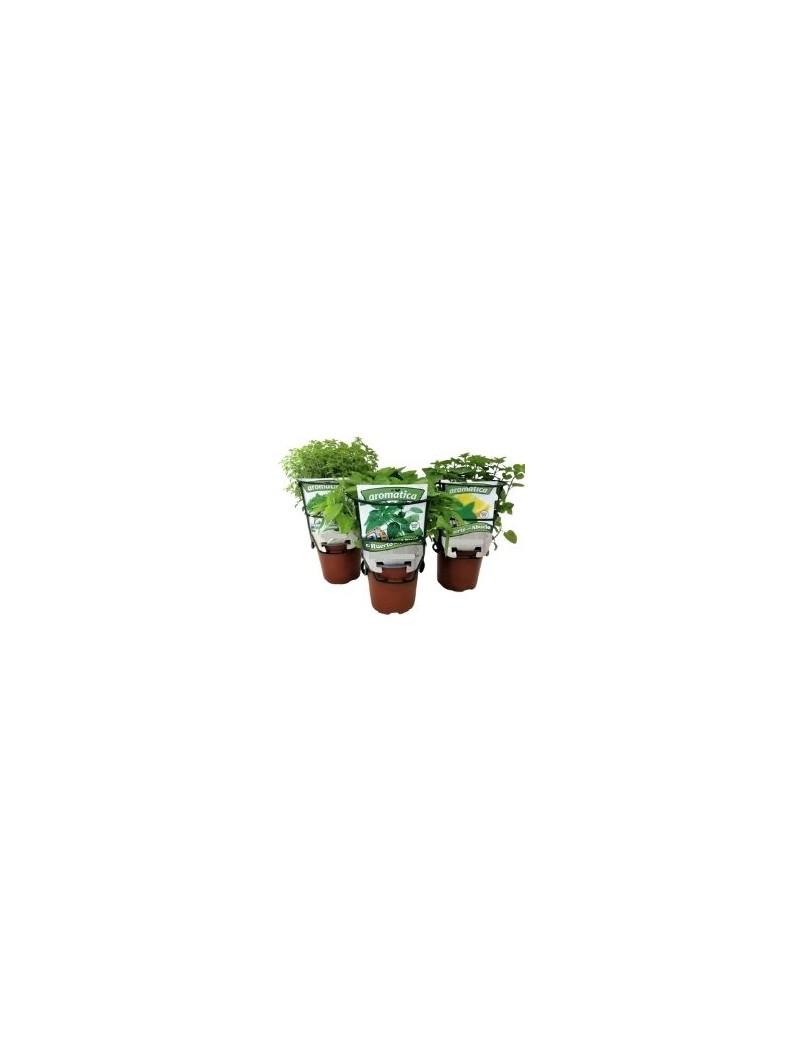 Fresanas trío plantas de ensalada, Batavia Rubia, Tomate Caña, Rúcula