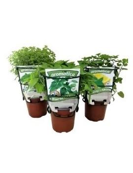 Fresanas trío plantas de infusiones, Manzanilla, Menta Poleo y Valeriana.