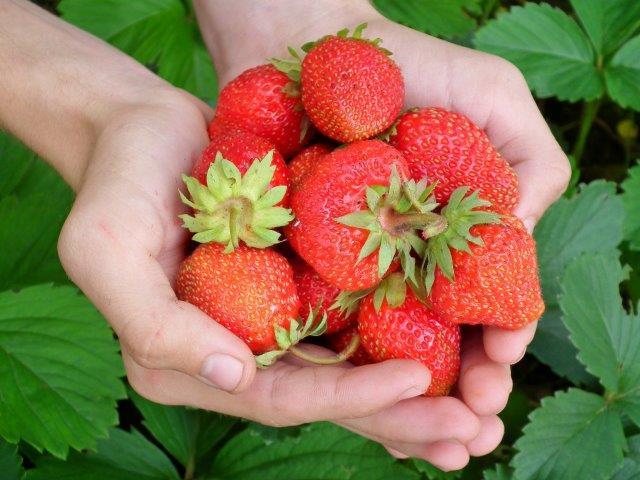 Fresas Mara des Bois: es tiempo de plantarlas
