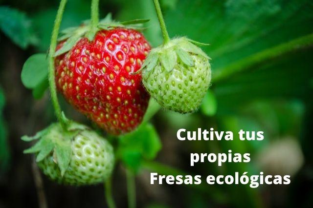 Fresas ecológicas: cultívalas en casa