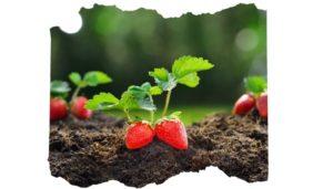 Fresanas fresas ecológicas